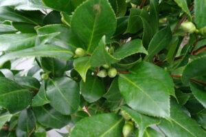 Camellia Japonica 'Bonomiana' - roze